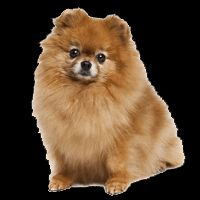 Breed: Pomeranian