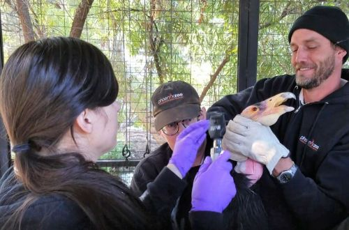 California Condor Exams and Vaccination