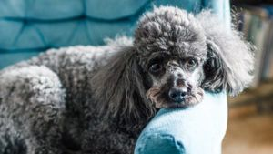 Choosing The Best Joint Supplement for a Poodle