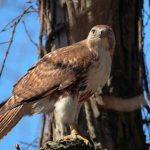 Red-tails in Lust