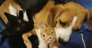 Beagle Appoints Herself Surrogate Mom of Two Kittens