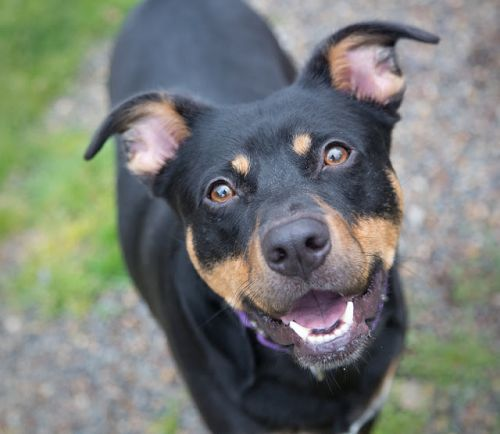 """""""LEONARD"""" American Shelter Dog mix likes to Play Catch"""