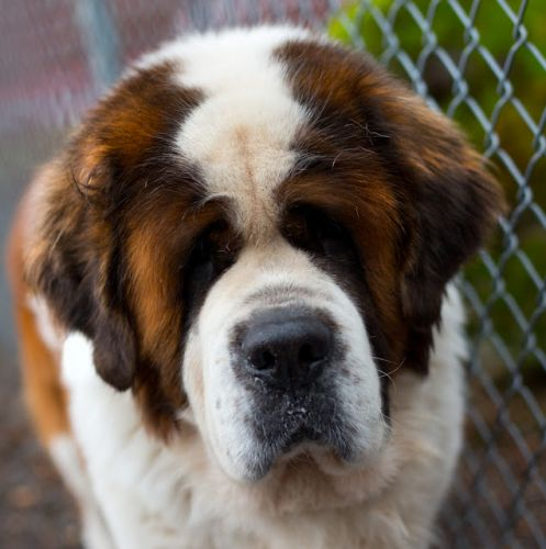 """TINY"" stately Saint Bernard"