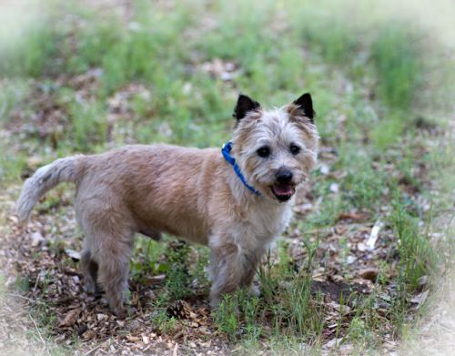 """RALPHY"" mellow Cairn Terrier mix"