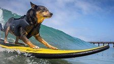 Cowabunga! Surf Dogs Hit The Waves For World Championships