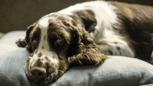 Choosing The Best Joint Supplement for a English Springer Spaniel