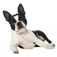 Breed: Boston Terrier