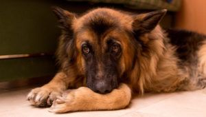 If You've Noticed Your German Shepherd Is Slower to Get Up, Begin This Routine Immediately!