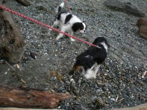 5 Tips To Prevent Your Cavalier King Charles Spaniel From Pulling On The Leash