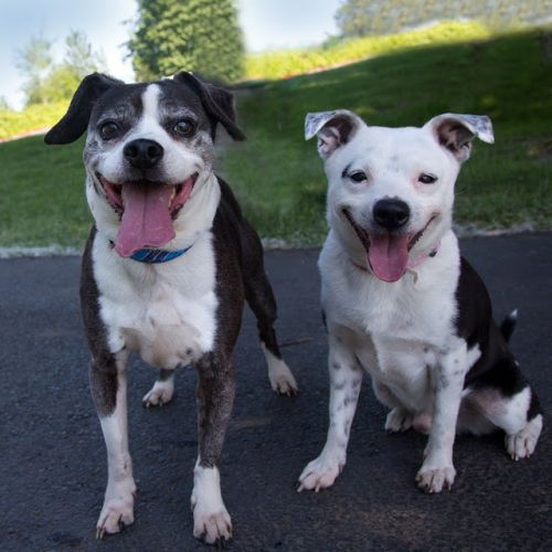 """SHORTIE"" boston/beagle mix and ""SHADOW"" rat terrier mix - BONDED PAIR"