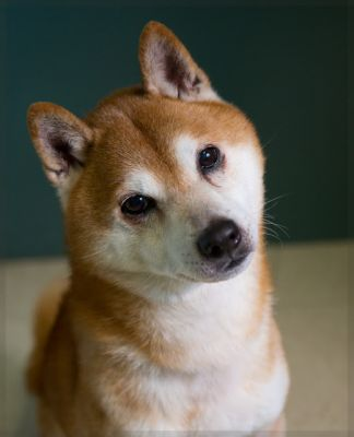 """WASABI"" cute independant Shibu Inu"