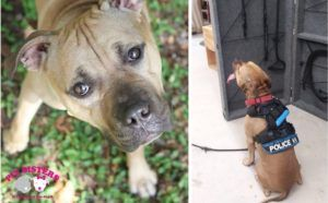 Pit Bull Saved From Dog Fighting Is Training To Become A Police K9