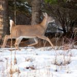 How do deer survive harsh winter weather?