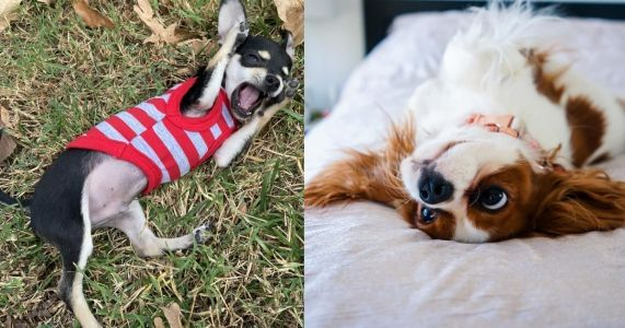 21 Dramatic Dogs Caught Practicing Their Theatrics