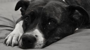 Choosing The Best Joint Supplement for a Staffordshire Bull Terrier