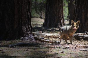 Coyote Attacks On Dogs Are Rising In The U.S. - Here's How To Keep Your Pet Safe