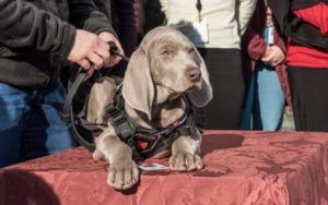 Pup-In-Training Joins Museum Staff To Sniff Out Pests & Protect Precious Artwork