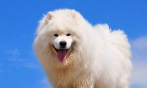 The Trendy New Kind of Dog Treat Samoyeds Go Nuts For