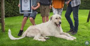 Irish Wolfhound Gets The New World Record For Longest Tail On A Dog!