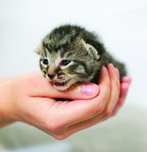 You Can Be a Kitten Caregiver