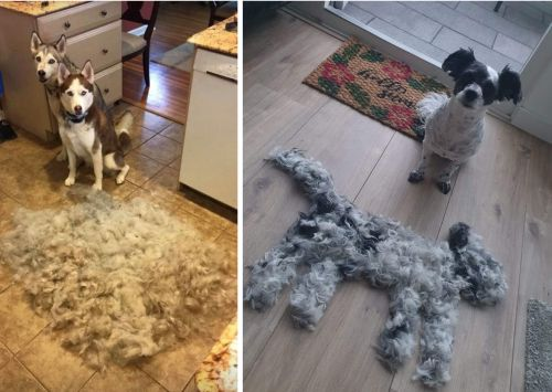 Super Shedders: 25 Shedding Dogs With The Fluff They Left Behind
