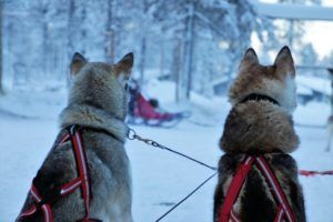 Iditarod Start Reignites Debate About Sled Dog Welfare