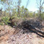 Great Bowerbird bower at Cygnet Park-Broome