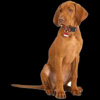 Breed: Vizsla