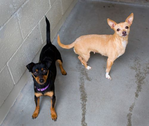"""ARTIE"" and ""ANNIE"" chihuahua mixes"