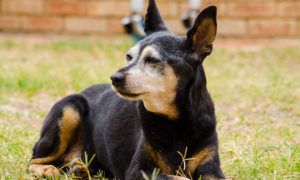 3 Amazing Ways To Honor A Miniature Pinscher Who Passed Away