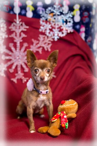"""""""LADY BELL"""" tiny chihuahua"""