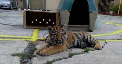 Tiger Cub Chained Outside Restaurant In Mexico City