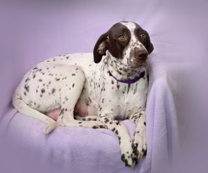 """MEG"" German Shorthaired Pointer - darling ""mom"""