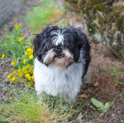"""WALLACE"" easy going mature Shih Tzu"