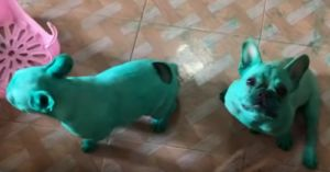 Nosy Frenchies Get Into Food Coloring & Accidentally Dye Themselves Green