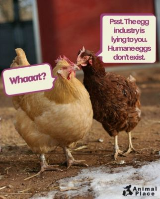 Whether you choose to buy eggs from caged, cage-free