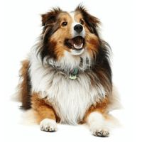 Breed: Sheltie