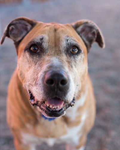 """TRUDY"" easygoing senior American Shelter Dog mix"