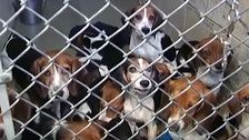 71 Beagles Rescued From Home In Pennsylvania