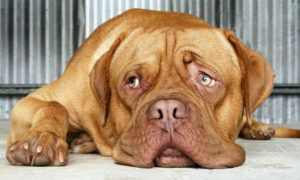 3 Amazing Ways To Honor A Dogue De Bordeaux Who Passed Away