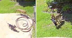 Home Surveillance Captures Coyote Attack & Ultimate Rescue Of Family Dog
