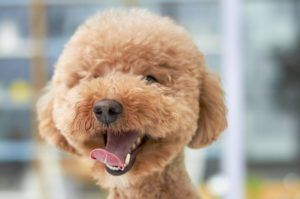 5 Signs Your Poodle Is Stressed