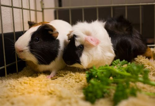 """CHIP"" and ""DALE Guinea Pig buddies"
