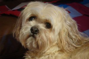 Giving This To Your Lhasa Apso Daily Could Help Alleviate Painful Skin Allergies