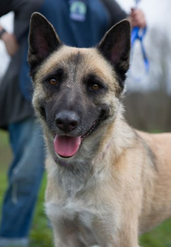 """CHARLEY"" Great Dog! german shep/akita - lived with kids and cats"