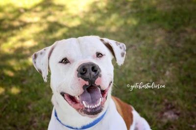 Adoption Monday: Rascal, American Bulldog, Toronto, ON
