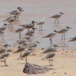 Greater Sand Plover with abnormal colouration 2018 update