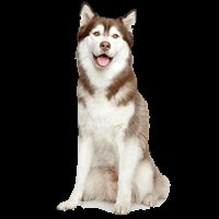 Breed: Husky