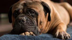 Choosing The Best Joint Supplement for a Bullmastiff