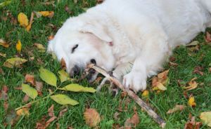 Pica: Why Does My Dog Eat Things He Shouldn't & What Can I Do About It?